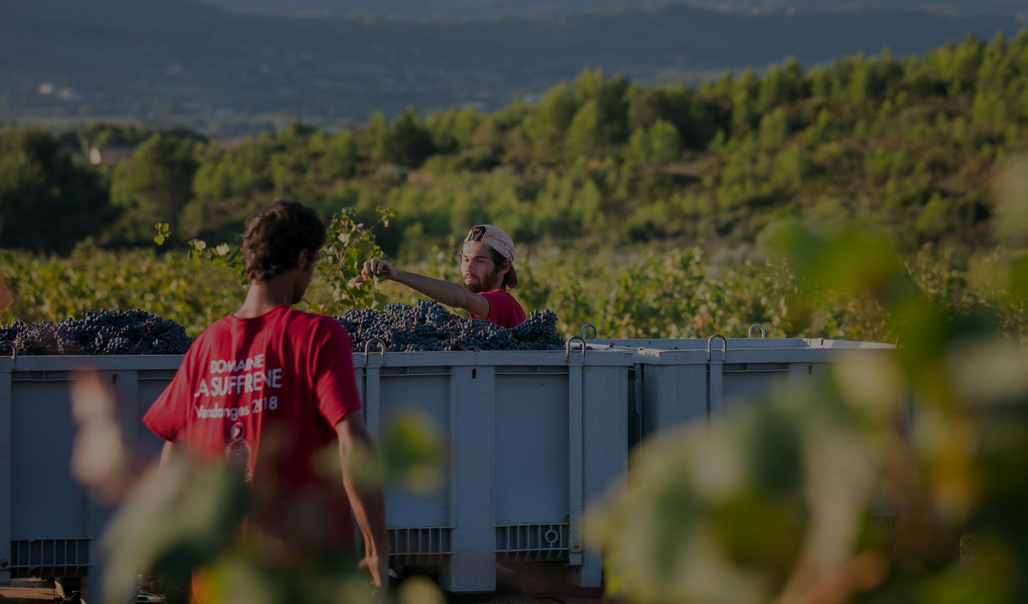 Vendanges 2019 - Domaine la Suffrène - Bandol - La Cadière d'Azur - Vinicole Vin et huile d'olive